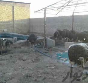 فروش مزرعه شترمرغ باشترمرغ مولد وگوشتی